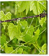 Barbwire And Vine Acrylic Print
