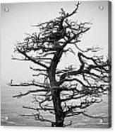 Bare Cypress Acrylic Print
