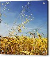 Barley And Oat Vertical Hdr Acrylic Print