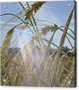 Barley Field Acrylic Print