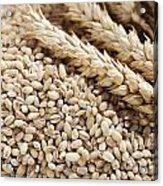 Barley Grains And Stalks Acrylic Print