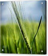 Barley Acrylic Print