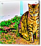 Barn Kitty Acrylic Print
