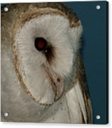 Barn Owl 2 Acrylic Print