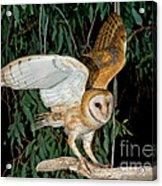 Barn Owl Alights Acrylic Print