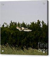 Barn Owl Hunting Acrylic Print
