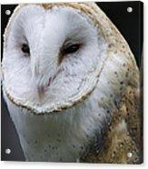 Barn Owl No.1 Acrylic Print