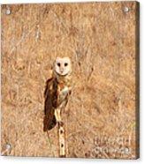 Barn Owl Perching Acrylic Print