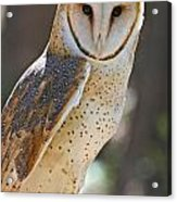 Barn Owl Raptor  Acrylic Print