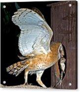 Barn Owl With Rat Acrylic Print