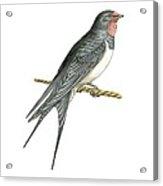 Barn Swallow, Artwork Acrylic Print