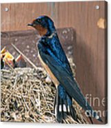 Barn Swallow At Nest Acrylic Print