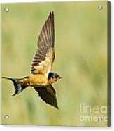 Barn Swallow Acrylic Print by Carl Jackson