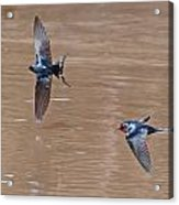 Barn Swallow In Flight Acrylic Print by Mike Dickie