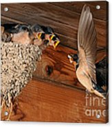 Barn Swallow Nest Acrylic Print