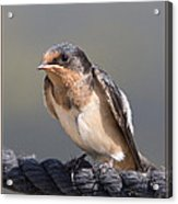 Barn Swallow On Rope I Acrylic Print by Patti Deters
