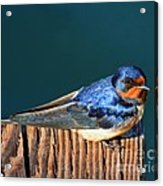 Barn Swallow Perching Acrylic Print