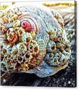 Barnacle Shell Acrylic Print