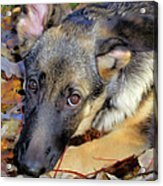Baron In The Leaves Acrylic Print