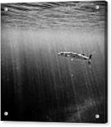 Barracuda Acrylic Print by Tyler Lucas