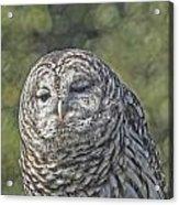 Barred Hoot Owl Photo Art Acrylic Print