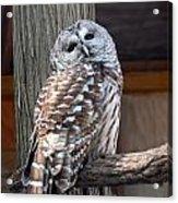 Barred Owl 264 Acrylic Print