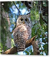Barred Owl And Holly Acrylic Print