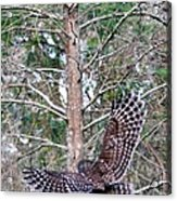 Barred Owl In Flight 2 Acrylic Print