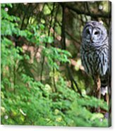 Barred Owl In Forest Acrylic Print