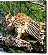 Barred Owl On Limb Acrylic Print