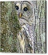 Barred Owl Peek A Boo Acrylic Print