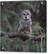 Barred Owl Stare Down Acrylic Print