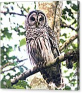 Barred Owl Staring Acrylic Print