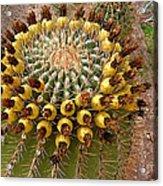 Barrel Cactus Bearing Fruit At El Mirador Rv Resort In San Carlos-sonora-mexico Acrylic Print
