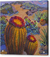 Barrel Cactus In Warm Light Acrylic Print