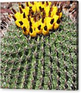 Barrel Cactus With Yellow Fruit Acrylic Print