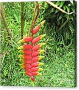 Barriles Heliconia Acrylic Print