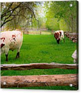 Barrington Farm Bovine Acrylic Print