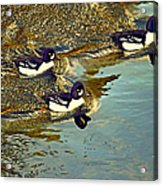 Barrow's Goldeneyes Going For The Gold Acrylic Print