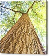 Bartrams Tree Acrylic Print