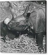 Basel World-record In Rhinoceros Breeding Acrylic Print