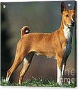 Basenji Dog Acrylic Print