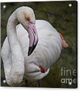 Bashful And Shy Flamingo. Acrylic Print