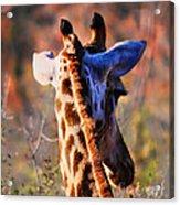 Bashful Giraffe  Acrylic Print by Alexandra Jordankova