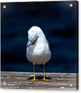 Bashful Seagull  Acrylic Print