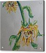 Bashful Sunflower Acrylic Print