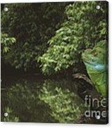 Basilisk Lizard Acrylic Print