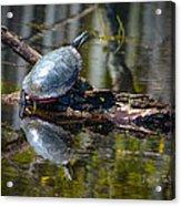 Basking Turtle Acrylic Print