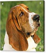 Basset Hound Dog Acrylic Print