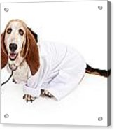 Basset Hound Dressed As A Veterinarian Acrylic Print